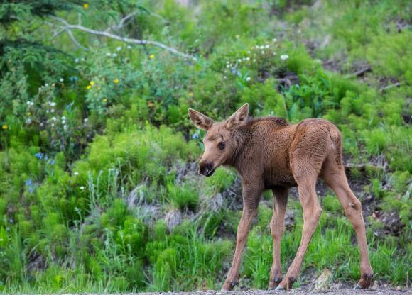 Baby Moose in Alaska; Credit - Bob Wick, BLM