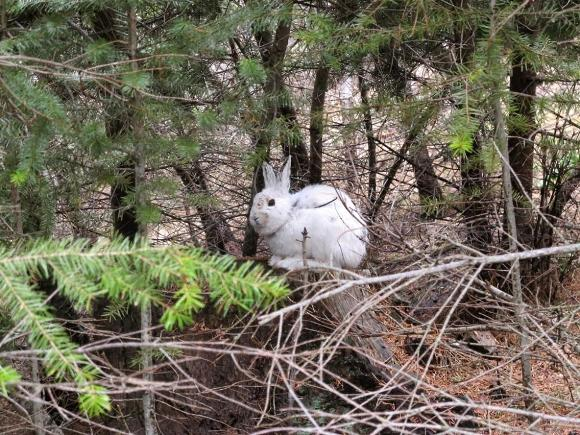 Snowshoe hare experience camouflage mismatch- Dr. L. Scott Mills Research Photo