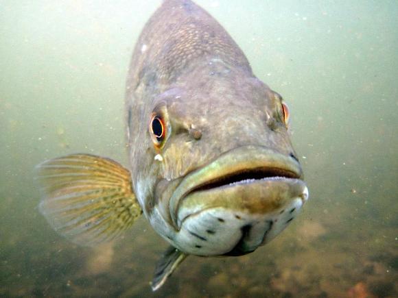Smallmouth Bass - Credit: Gretchen Hansen