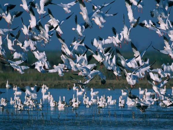 Snow geese in wetland - Public Domain