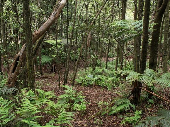 Kalopa native forest, Hawaii - Credit: Alan Cressler