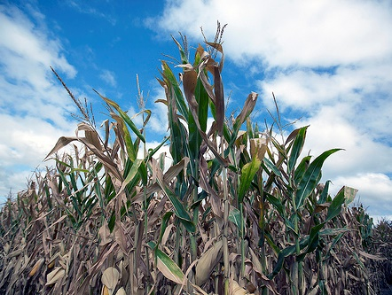 Drought-affected cornfield - Credit: Dave Kosling, USDA