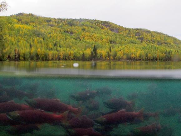 Sockeye salmon - Credit: Katrina Mueller, USFWS