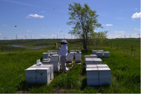 A managed honey bee yard in North Dakota