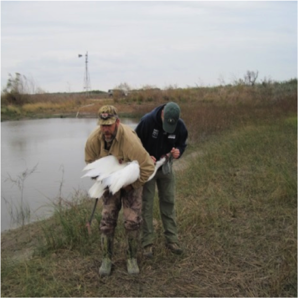 Capturing a Whooping Crane