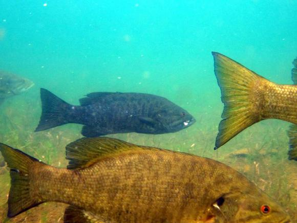 Smallmouth bass - Credit: Gretchen Hansen