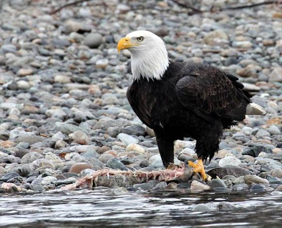 Bald eagle with fish carcass on Skagit River; Credit: Jason Ransom, NPS