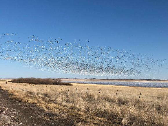 Migratory Snow Geese at Freezeout Lake in Montana - Credit: Holly Chandler