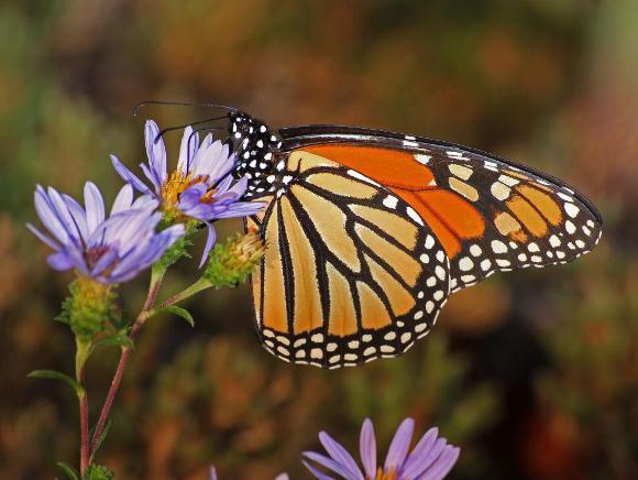 Monarch Butterfly taken by Alan Cressler